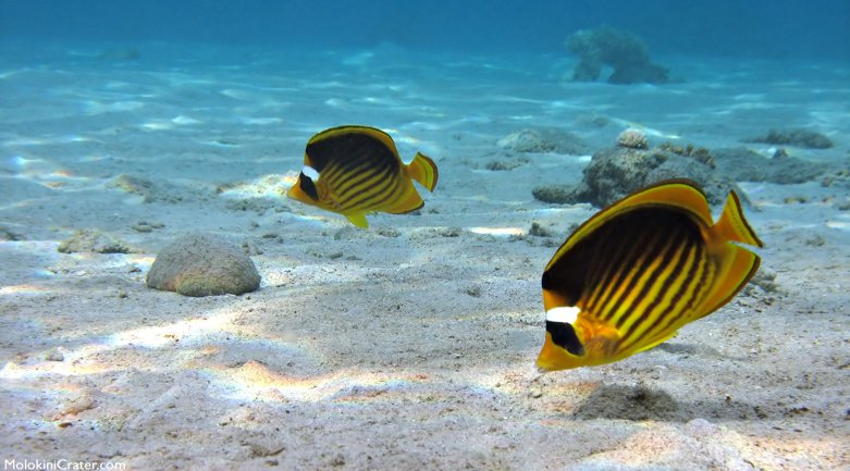 Raccoom Butterfly Fish