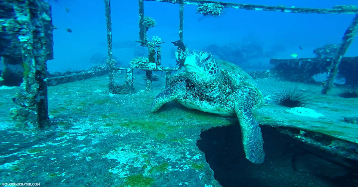 turtle on sunken ship